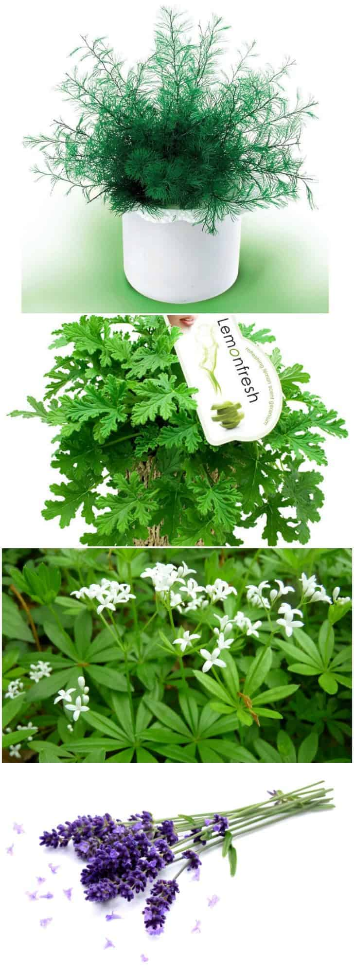 12 natural mosquito repellent plants 1001 gardens - Natural insect repellent for gardens ...