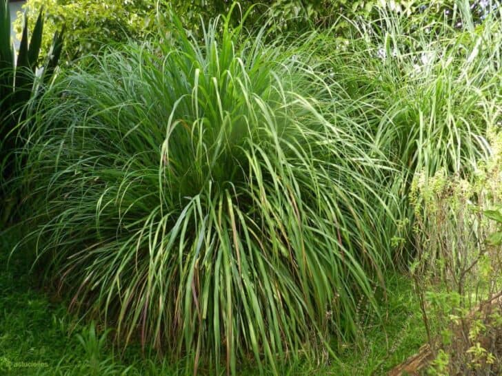 12 Natural Mosquito Repellent Plants