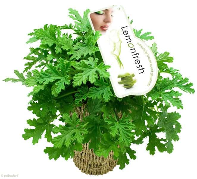 12 Natural Mosquito Repellent Plants - flowers-plants-planters