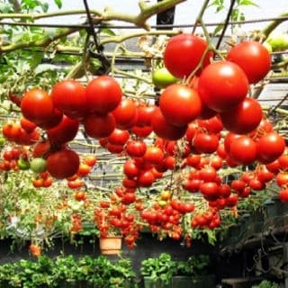 Grow Tomatoes Upside Down