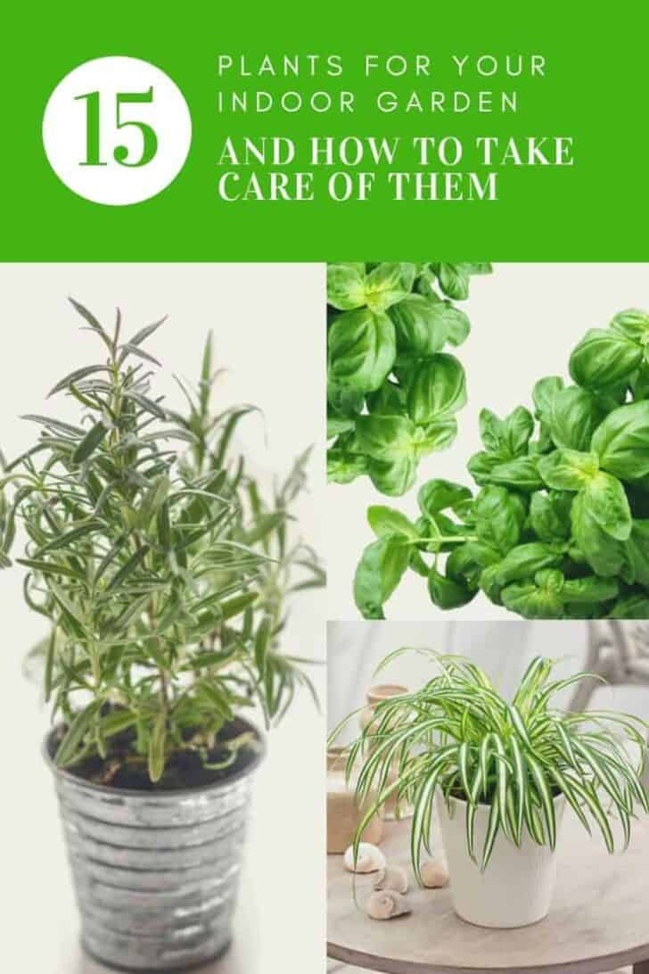 15 Plants for your Indoor Garden and how to take care of them 3 - Flowers & Plants