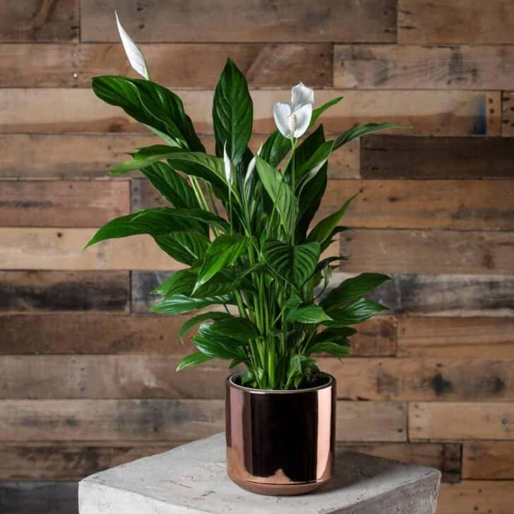 15 Plants for your Indoor Garden and how to take care of them 50 - Flowers & Plants