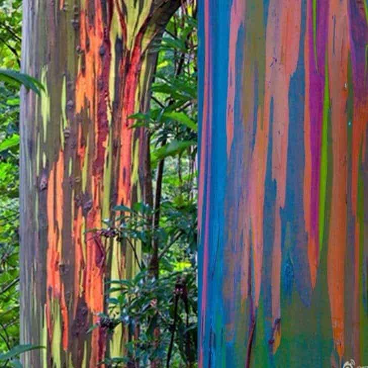 The Rainbow Eucalyptus: An Unusual Tree With a Multicoloured Trunk 3 - Flowers & Plants - 1001 Gardens