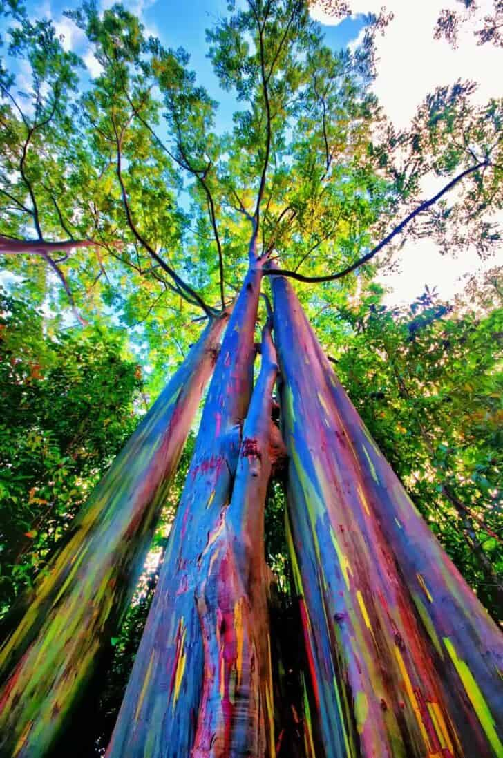The Rainbow Eucalyptus: An Unusual Tree With a Multicoloured Trunk 4 - Flowers & Plants - 1001 Gardens