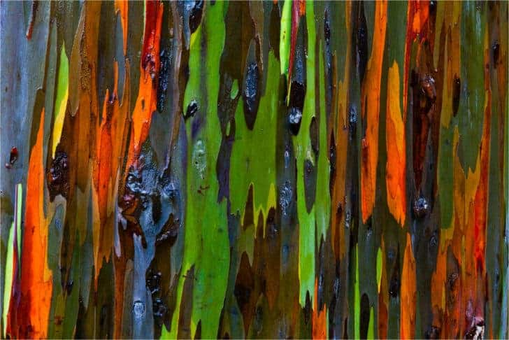 The Rainbow Eucalyptus: An Unusual Tree With a Multicoloured Trunk 2 - Flowers & Plants - 1001 Gardens