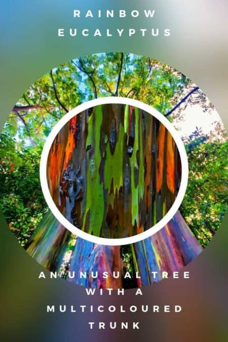The Rainbow Eucalyptus: An Unusual Tree With a Multicoloured Trunk 14 - Flowers & Plants