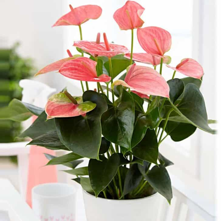 Anthurium Plant Grow and Care