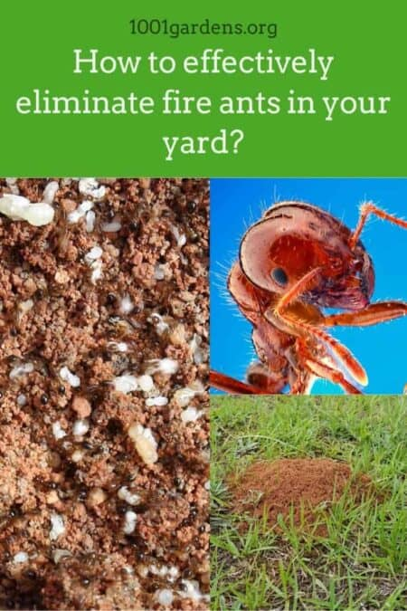 How to effectively eliminate fire ants in your yard? 7 - Flowers & Plants