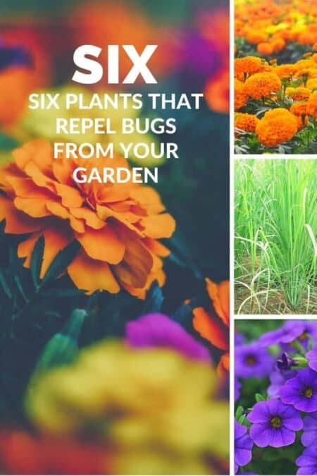 Six Plants That Repel Bugs from Your Garden 3 - Flowers & Plants