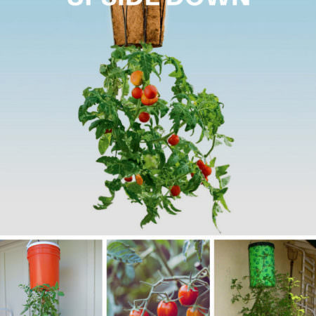 1001gardens.org-home-grown-tomatoes-upside-down-planter-06
