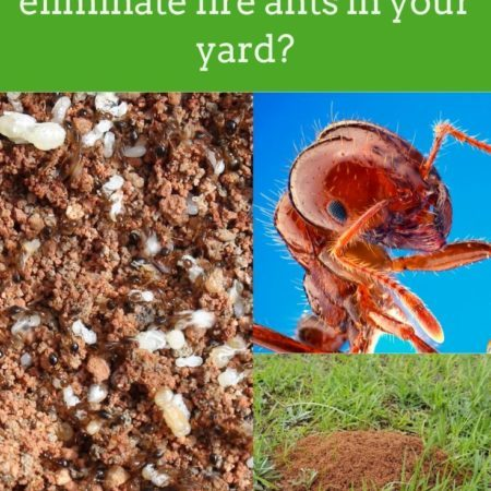 How to effectively eliminate fire ants in your yard